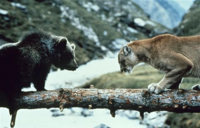 Image result for IMAGES THE COUGAR SCENE BEAR MOVIE