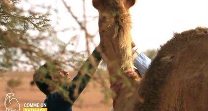 REPLAY - Comme un animal (Gulli) : Alex Goude dans la peau d'un dromadaire